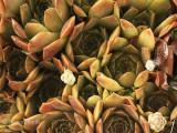 Sempervivum marmoreum Chocolate JL8 #0857
