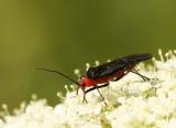 Miridae sp. AU8 #3875