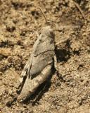 Carolina locust -Dissosteira carolina JL8 #1606