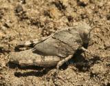 Carolina locust - Dissosteira carolina  JL8 #1608