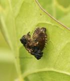 Tortoise Beetle larvae  JL8 #1818