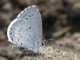 Celastrina neglecta - Azure JL8 #2361