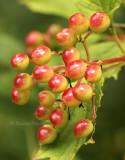Berries JL8 #3141