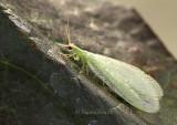 Green Lacewing AU8 #4610