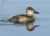 Ducks Geese & Swans
