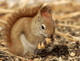 Red Squirrel F9 #8809