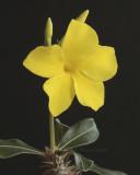 Pachypodium rosulatum v stenanthum MR9 #9662.