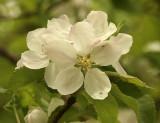 Spy Apple blossoms MY9 #9663