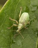 Green Immigrant Leaf Weevil JL9 #8597
