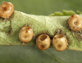 Hyalophora cecropia Eggs JN9 #7009