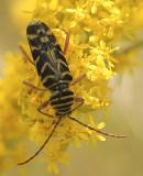 Locust Borer S9 #8888