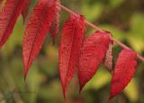 Sumac in Autumn O9 #3067