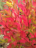 Itea virginica Sprich dwarf autumn colour S9 #2628