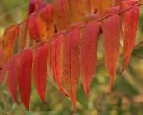 Sumac in Autumn O9 #3061