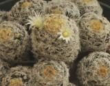 Mammillaria schiedeana N9 #4336