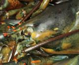 Lobster D9 #5290