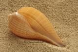 Fig Shell - Ficus communis JA10 #5760