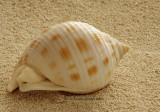 Scotch Bonnet - Phalium granulatum  JA10 #5750