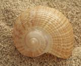 Fig Shell- Ficus communis  JA10 #5830