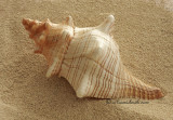 Florida Horse Conch - Pleuroploca gigantea  JA10 #5822