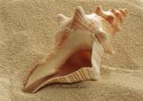 Florida Horse Conch - Pleuroploca gigantea  JA10 #5823