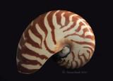 Chambered Nautilis JA10 #6312