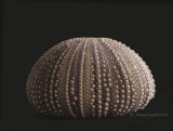 Sea Urchin JA10 #6324