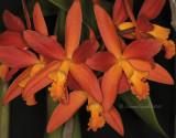 Cattleya Intergeneric Hybrids