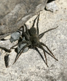 Genus Pardosa - Thin-legged Wolf Spider AP7 #4214