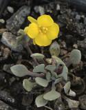 Physaria alpina AP10 #9099