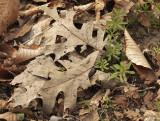 Oak Leaves MY10 #9951