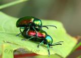 Dogbane Beetle AU7 #1741