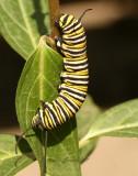 Monarch Caterpillar S7 #3967
