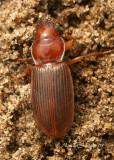 Harpalus eraticus S7 #4759