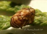 Clastoptera arborina S7 #5036