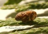 Clastoptera arborina S7 #5031