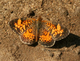 Pearl Crescent - Phyciodes tharos - Male  S7 #4200