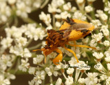 Jagged Ambush Bug O7 #5266