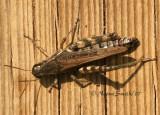 Grasshopper O7 #5405