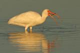 White Ibis and fish