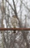 IMG_1625 Hawk.JPG
