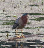 0836 Grn Heron.JPG