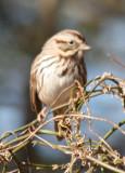 4188 Song Sparrow.JPG