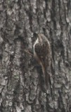 4427 Brown Creeper.JPG