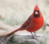 4253 N Cardinal m.JPG