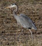 4989 GB Heron in Field