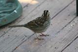 4917 Wht Throated Sparrow