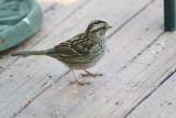 4918 Wht Throated Sparrow