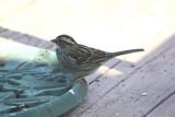 4922 Wht Throated Sparrow
