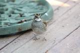 4926 Wht Throated Sparrow